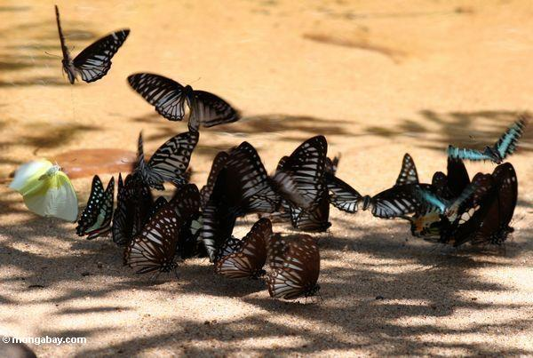 Colorful butterflies feeding on minerals on a river beach -- malaysia0576A