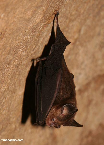 Insect-eating bat in rainforest cave in Malaysia. Photo by Rhett. A. Butler / mongabay.com.
