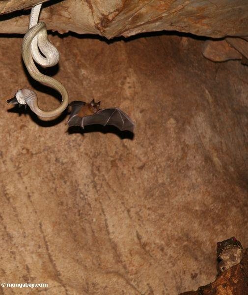 Cave Dwelling Rat snake (Elaphe taeniura ridleyi) eating a bat as another one flies by