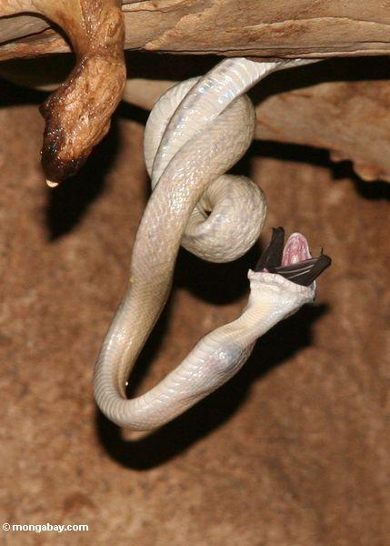 Cave Ratsnake (Elaphe taeniura ridleyi) swallowing a bat