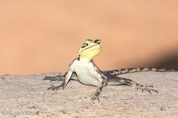 Namib Rock Agama (Agama planiceps)