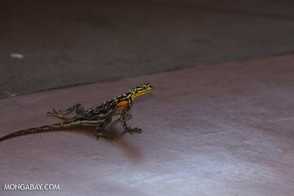 Namibian Rock Agama (Agama planiceps)
