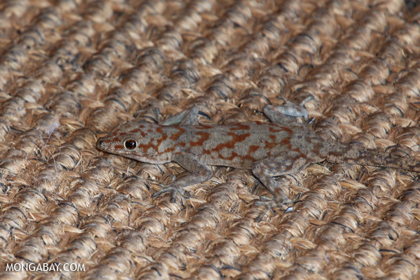Banded Thick-toed Gecko (Pachydactylus fasciatus)
