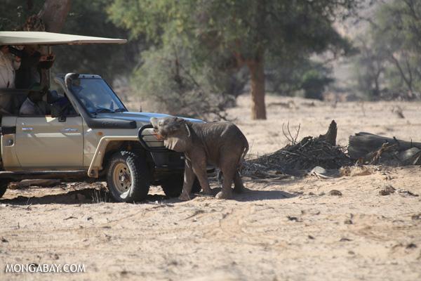 Namibian desert elephant