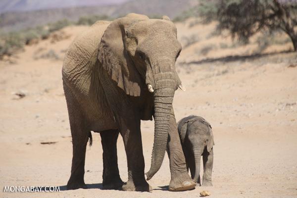 Desert elephants in Namibia. Photo by: Rhett Butler.