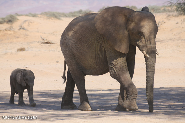 Adult elephant and calf in Namibia. Photo by: Rhett A. Butler.