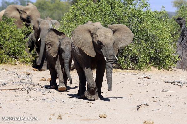 Desert elephants.