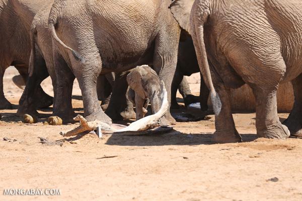 Desert elephant in Namibia