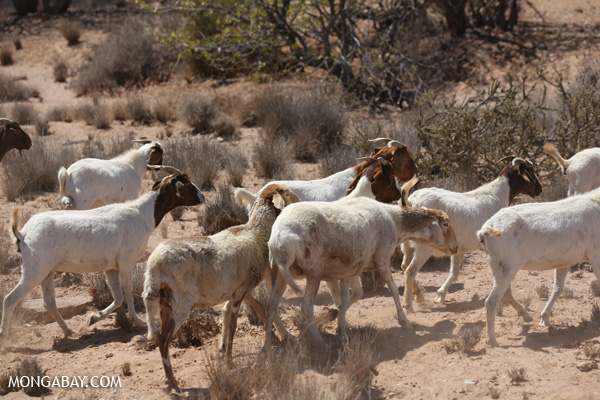Goats in Namibia