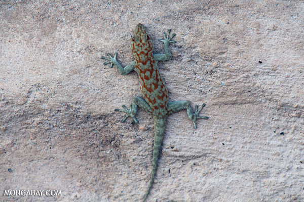 Damaraland Banded Gecko