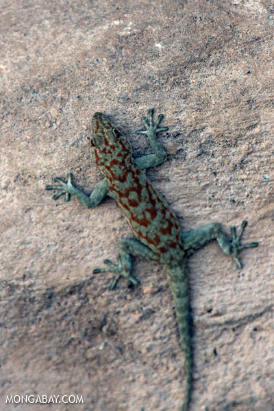 Pachydactylus fasciatus gecko