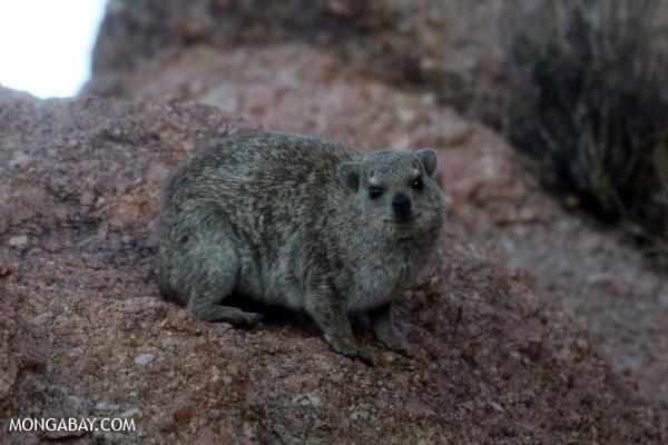 Desert hyrax