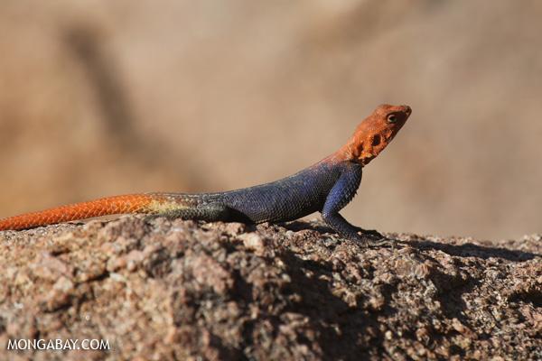Namib Rock Agamid