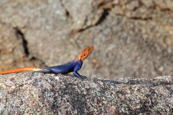 Namib Rock Lizard