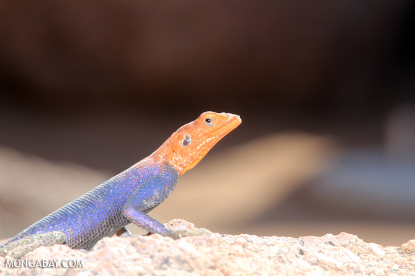 Namib Rock Agama