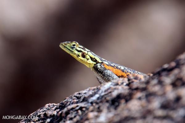 Namibian Rock Agamid