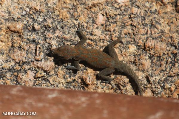 Namibian gecko