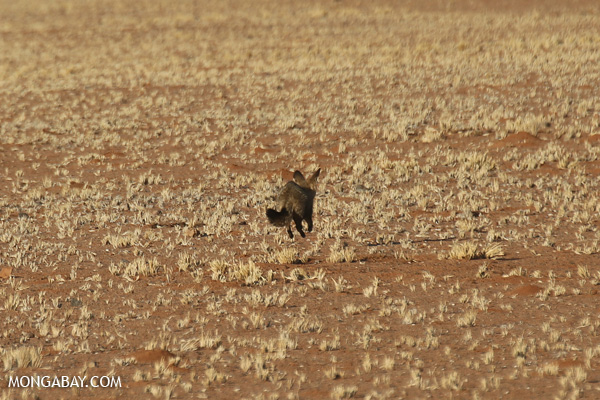 Fox in Namibia