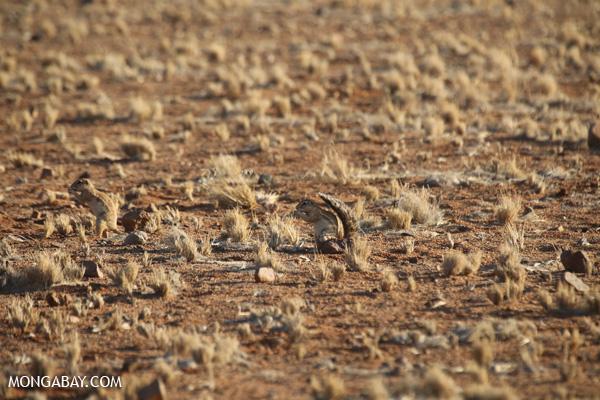Cape ground squirrel (Xerus inauris)
