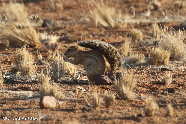 Cape ground squirrel (Xerus inauris)
