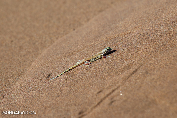 Pedioplanis sand lizard