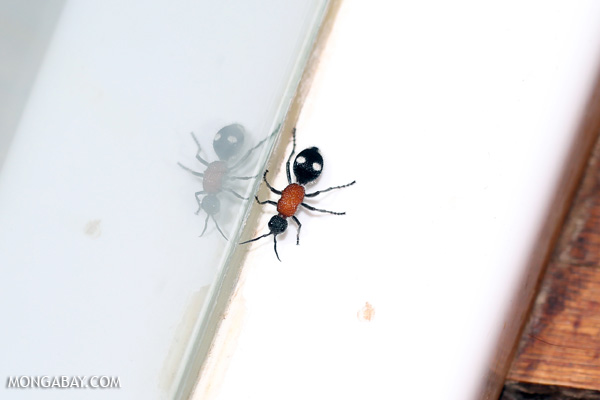 Ant in Namibia