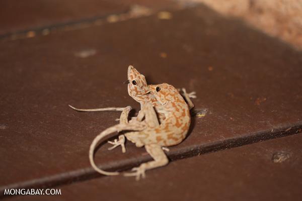 Damaraland Banded Gecko (Pachydactylus fasciatus)