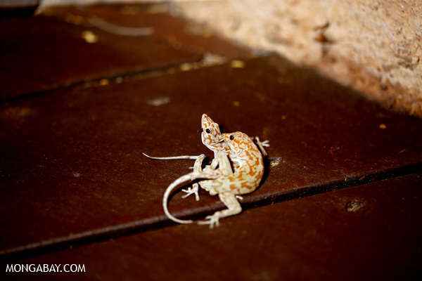 Banded Thick-toed Gecko