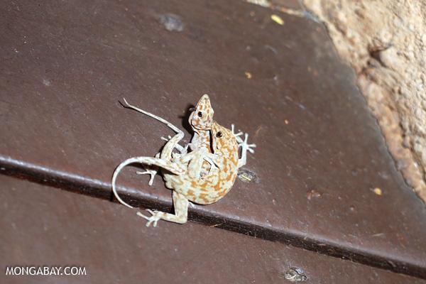 Namibian desert gecko