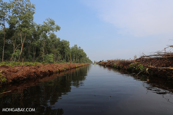 Acacia plantation and canal belonging to APP supplier PT Sekato Pratama Makmur.