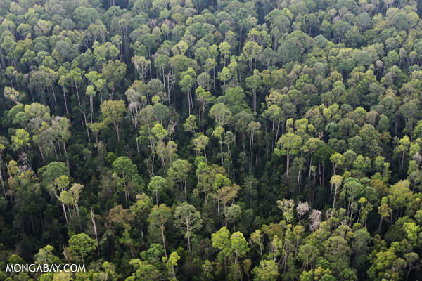Block of rainforest APP has protected as part of its forest conservation commitment.