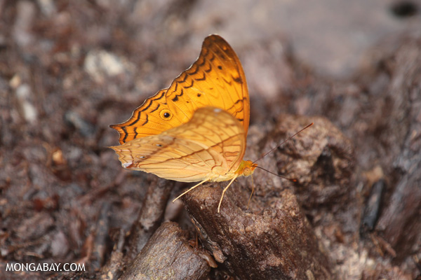 Unknown orange butterfly in Sumatra. Scientists believe we are in the midst of a defaunation crisis, which is impacting animals the world over. Photo by: Rhett A. Butler.