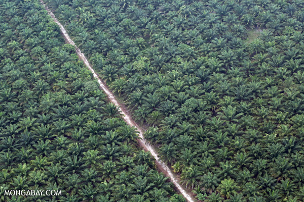 Oil palm plantation in Sumatra, Indonesia