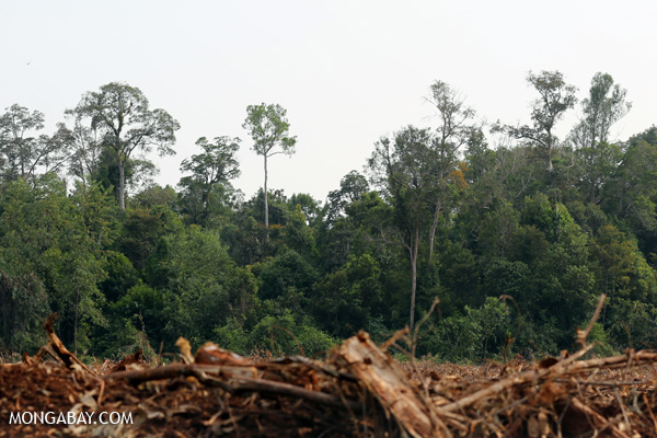 Cleared acacia plantation in Riau, Sumatra, with native peat forest in the background