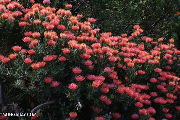Kirstenbosch national botanical gardens [south_africa_capetown_0110]