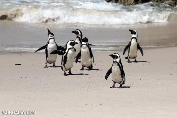 Jackass penguins (Spheniscus demersus) [south_africa_capetown_0282]