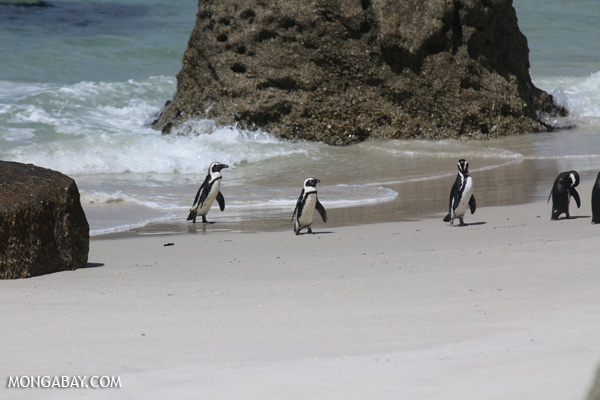Black-footed penguin (Spheniscus demersus) [south_africa_capetown_0302]