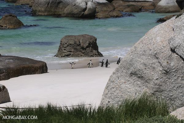 Black-footed penguin (Spheniscus demersus) [south_africa_capetown_0308]