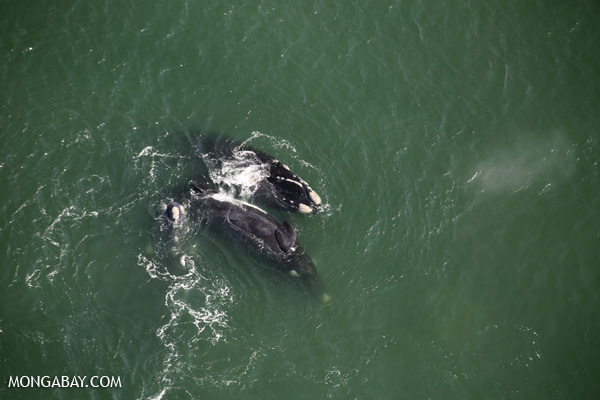 Southern Right Whale [south_africa_hermanus_0236]