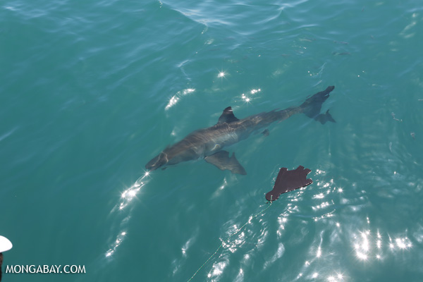 Great white shark [south_africa_hermanus_0486]