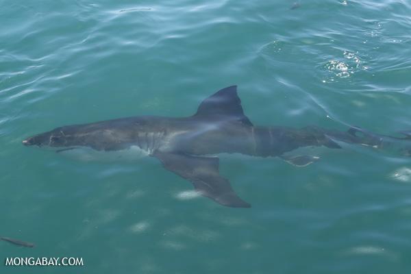 Great white shark [south_africa_hermanus_0499]