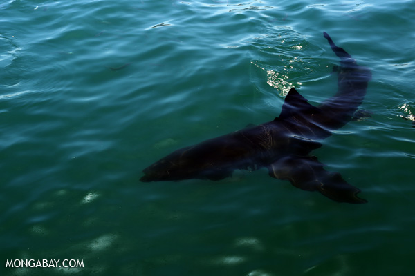 Great white shark [south_africa_hermanus_0501]