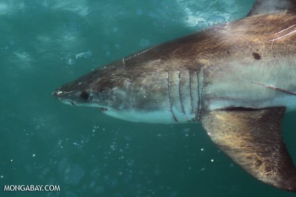 Great white shark [south_africa_hermanus_1098]