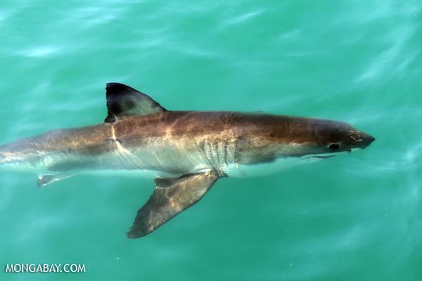 Great white shark [south_africa_hermanus_1121]