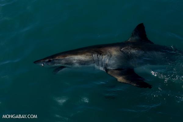 Great white shark [south_africa_hermanus_1149]
