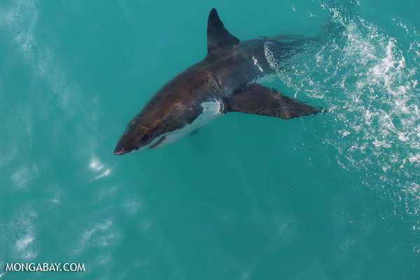 Great white shark [south_africa_hermanus_1168]