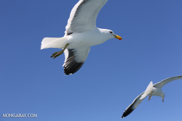 Sea gull [south_africa_hermanus_1189]