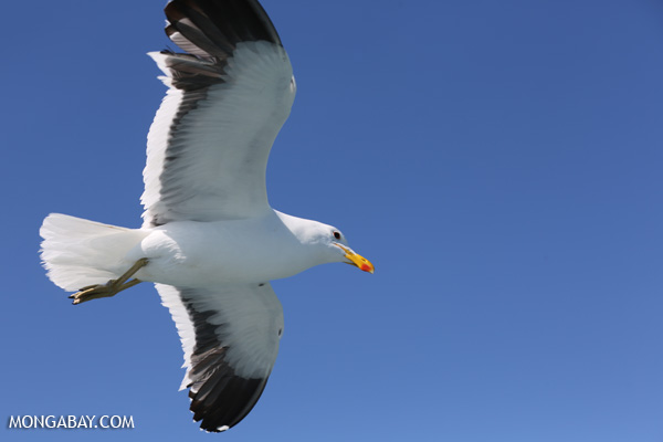 Sea gull [south_africa_hermanus_1191]