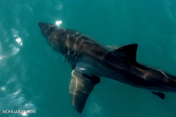 Great white shark [south_africa_hermanus_1206]
