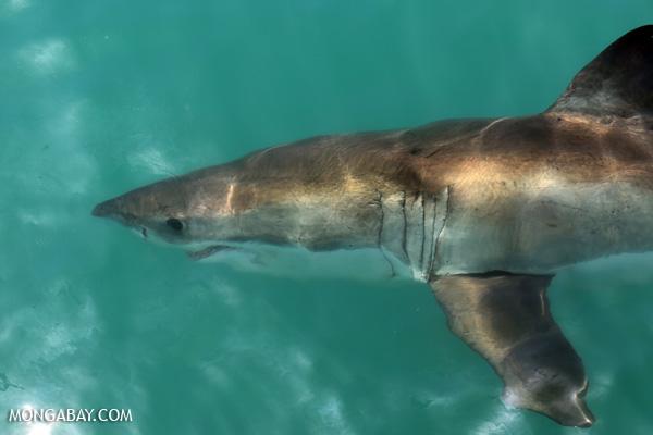 Great white shark [south_africa_hermanus_1231]